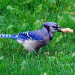 Blue Jay – Spirit Animal, Symbolism and Meaning