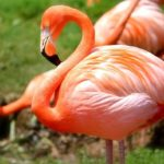 Flamingo – Spirit Animal, Symbolism and Meaning