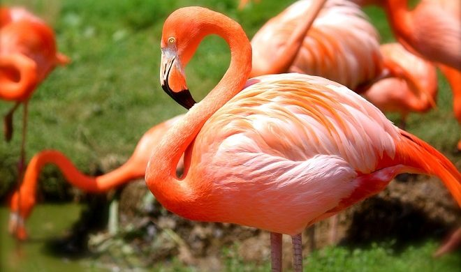 Flamingo Spirit Animal Symbolism And Meaning
