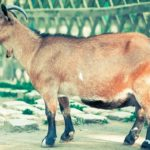 Goat – Spirit Animal, Symbolism and Meaning