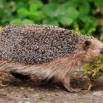 Hedgehog – Spirit Animal, Symbolism and Meaning