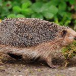 Hedgehog – Spirit Animal, Symbolism and Meaning