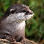Otter – Spirit Animal, Symbolism and Meaning