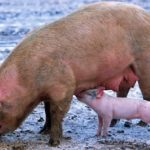 Pig – Spirit Animal, Symbolism and Meaning