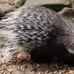 Porcupine – Spirit Animal, Symbolism and Meaning