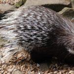 Porcupine – Spirit Animal, Symbolism and Meaning
