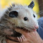 Possum or Opossum – Spirit Animal, Symbolism and Meaning