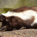 Skunk – Spirit Animal, Symbolism and Meaning