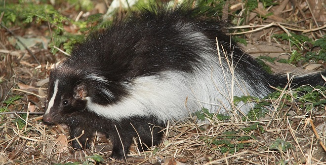 Skunk Spirit Animal Symbolism And Meaning