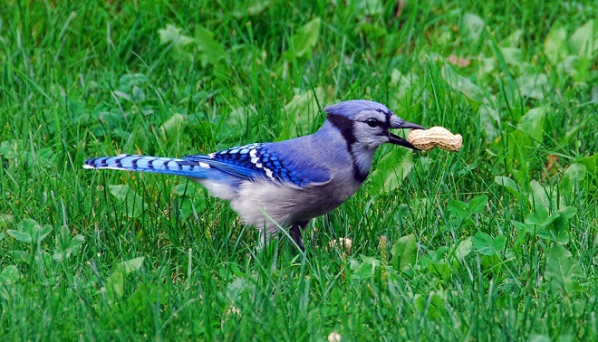 Blue Jay Spirit Animal Symbolism And Meaning