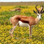 Antelope – Spirit Animal, Symbolism and Meaning