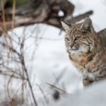 Bobcat – Spirit Animal, Symbolism and Meaning
