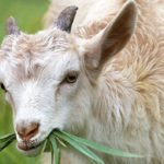 Dreams About Goats – Interpretation and Meaning