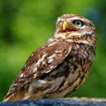 Dreams About Owls – Interpretation and Meaning