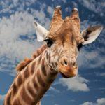 Giraffe – Spirit Animal, Symbolism and Meaning