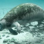 Manatee – Spirit Animal, Symbolism and Meaning