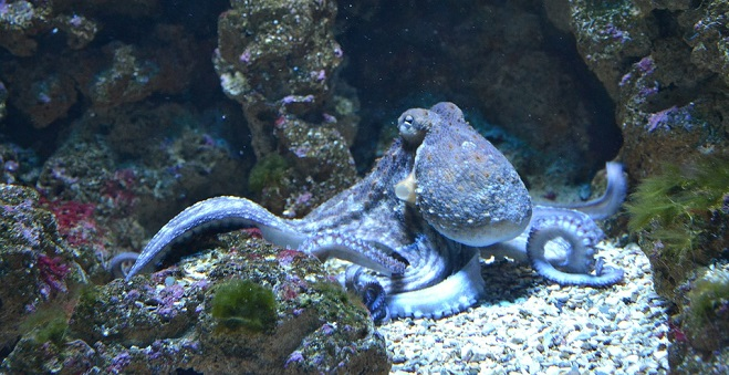 Octopus Spirit Animal Symbolism And Meaning