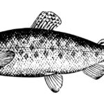Salmon – Spirit Animal, Symbolism and Meaning
