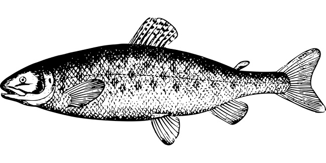 Salmon Spirit Animal Symbolism And Meaning