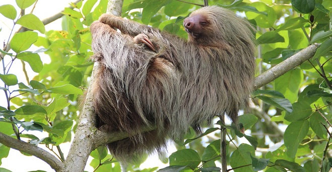 Sloth – Spirit Animal, Symbolism and Meaning