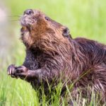 Beaver – Spirit Animal, Symbolism and Meaning