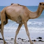 Camel – Spirit Animal, Symbolism and Meaning