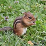 Chipmunk – Spirit Animal, Symbolism and Meaning