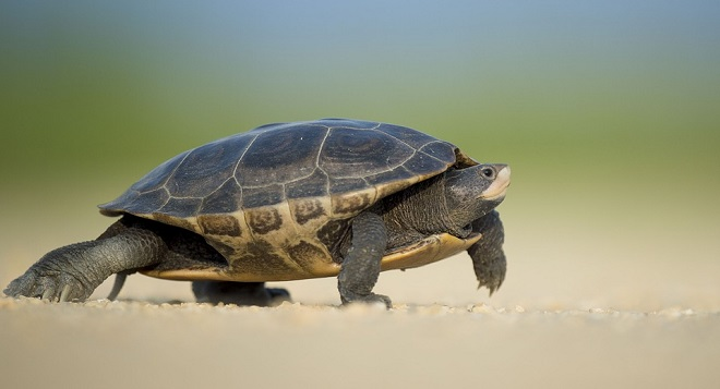 Dreams About Turtles Interpretation And Meaning