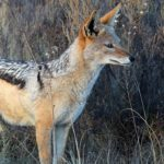 Jackal – Spirit Animal, Symbolism and Meaning