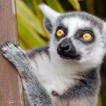 Lemur – Spirit Animal, Symbolism and Meaning