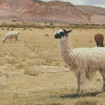 Llama – Spirit Animal, Symbolism and Meaning