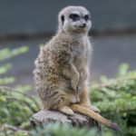 Meerkat – Spirit Animal, Symbolism and Meaning