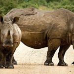 Rhinoceros – Spirit Animal, Symbolism and Meaning