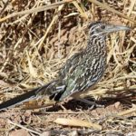 Roadrunner – Spirit Animal, Symbolism and Meaning