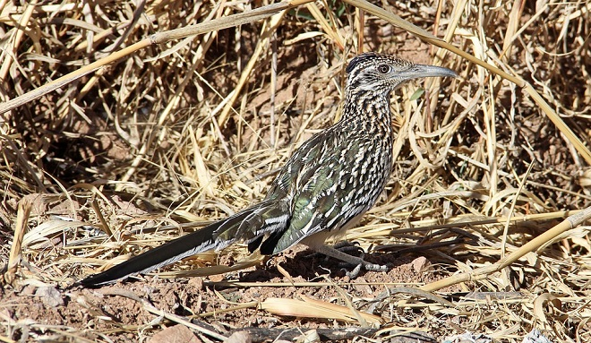 Roadrunner Spirit Animal Symbolism And Meaning