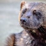 Wolverine – Spirit Animal, Symbolism and Meaning