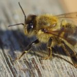 Spiritual Meaning of Bees Landing On You