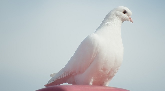 Spiritual meaning of white dove flying in front of you in hindu tradition white doves were messengers of the god of dead cave indians believe that killing a white dove will bring you eternal unhappiness voltagebd Gallery