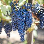 Biblical Meaning of Grapes in Dreams – Meaning and Interpretation