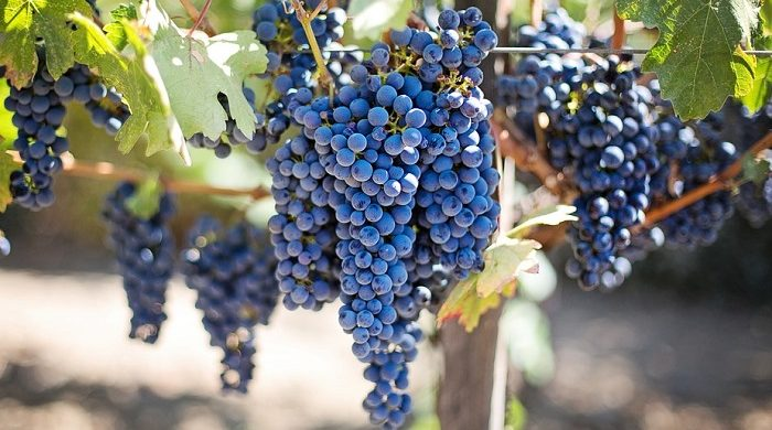 Biblical Meaning of Grapes in Dreams – Meaning and