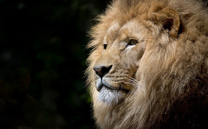 Biblical Meaning of Lion in Dreams – Interpretation and Meaning