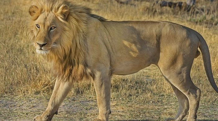 Biblical Meaning Of Lion In Dreams Interpretation And Meaning