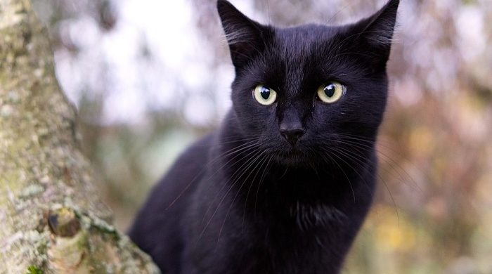 Black Cat in Dream – Meaning and Symbolism