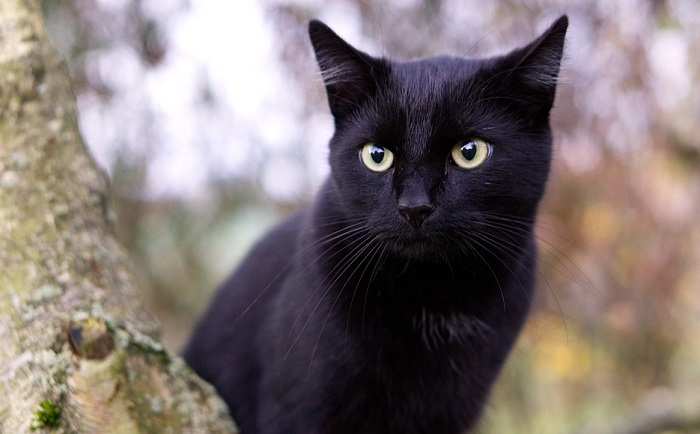 Black Cat In Dream Meaning And Symbolism