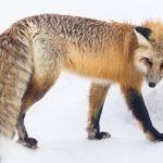 Spiritual Meaning of Fox Crossing Your Path