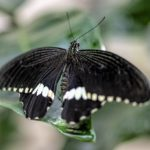 Black Butterfly – Meaning and Symbolism