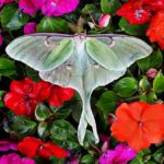 Luna Moth – Meaning and Symbolism