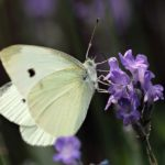 White Butterfly – Meaning and Symbolism