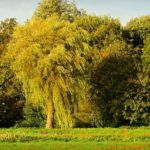 Willow Tree – Meaning and Symbolism