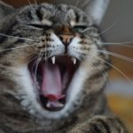 Cat Crying at Night – Superstition and Meaning